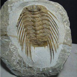 High End Trilobites - $100 - $399