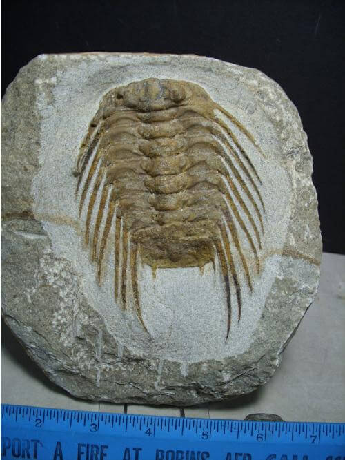 High End Trilobites - $100 - $399