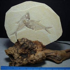 Fish with Manzanita Root Stands