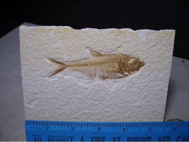 Green River Fish - Fossil