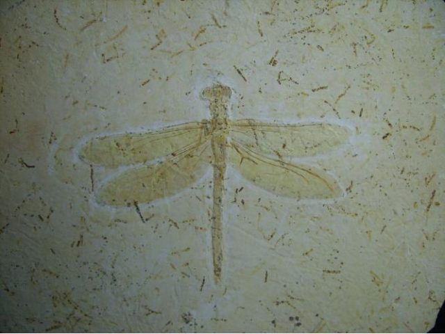 dragonfly fossils