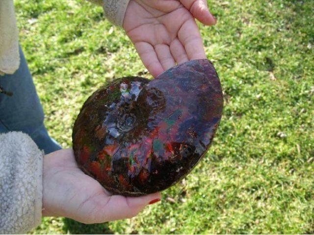canadian ammonites