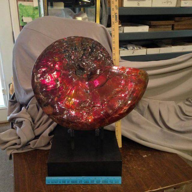 Canadian Ammonite   Ammonite For Sale