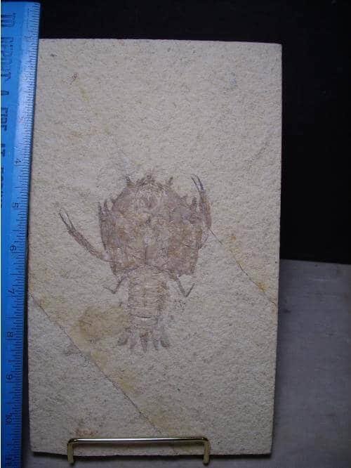 Solnhofen fossils
