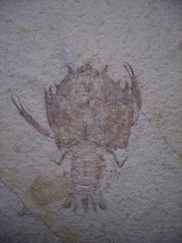 fossil lobster