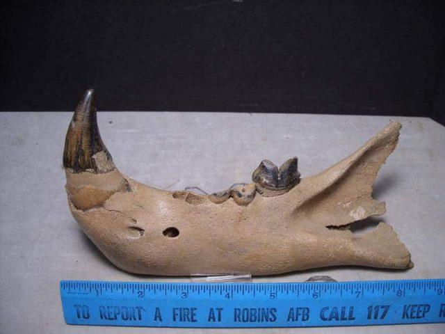 lion fossils