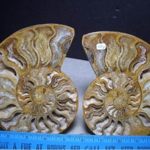 ammonite for sale