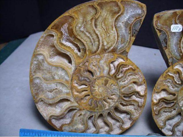 ammonite for sale