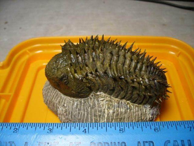 Drotops Trilobite For Sale