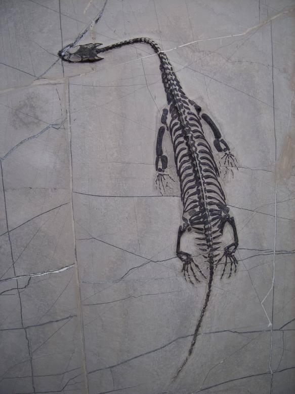 Keichousaurus fossil for sale