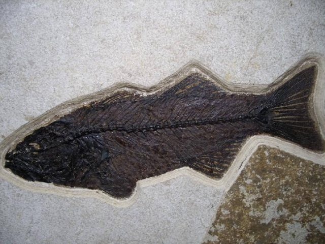 mioplosus fossil fish for sale