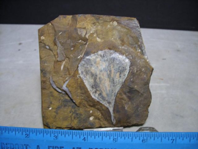 Fossilized Ginkgo Leaf