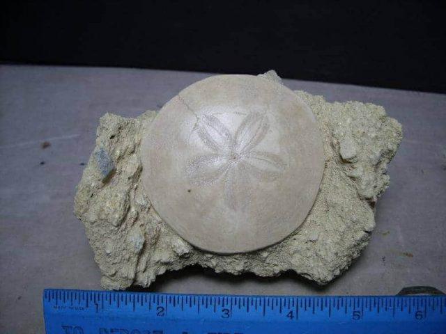 Fossilized Echinoid (Sand-dollar)
