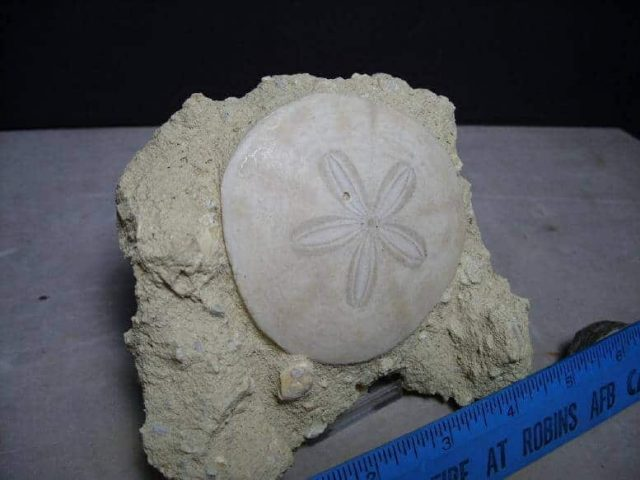 Fossilized Sea Urchin: Fossilized Echinoid (Sand-dollar)