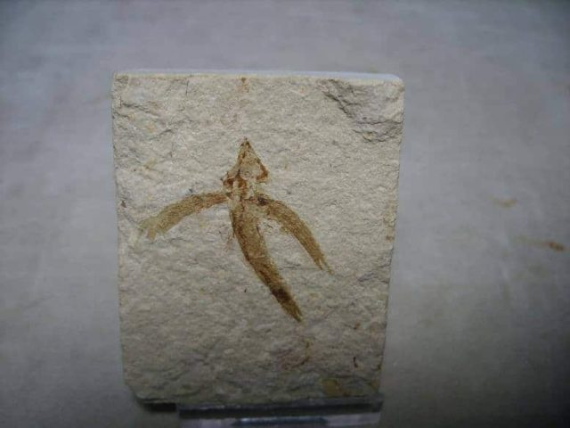 Flying Fish Fossil