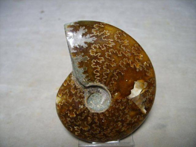 ammonite suttures