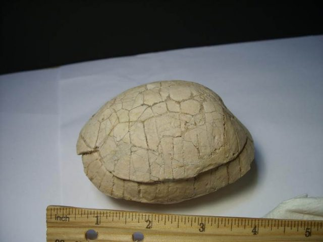 Fossil Turtle