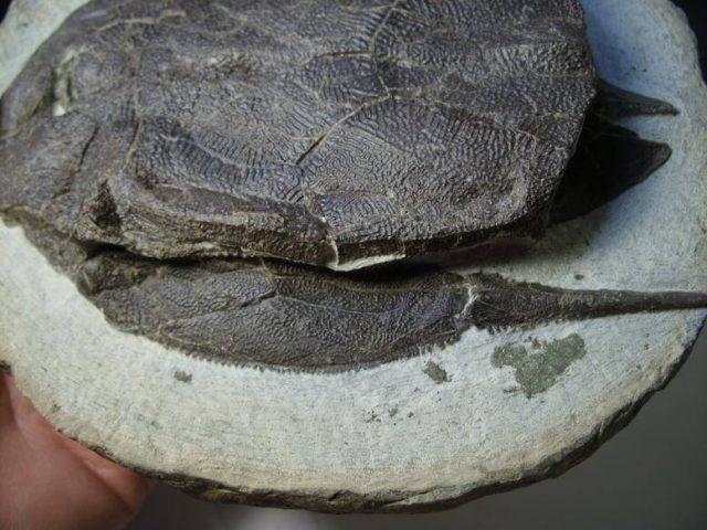 Bothriolepis Fossil