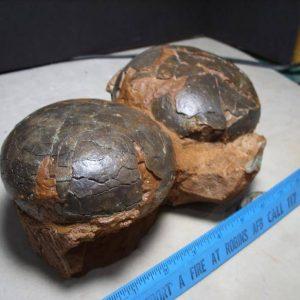 Egg Fossils
