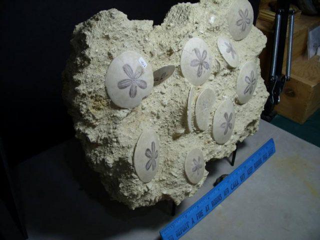 fossil sand dollars