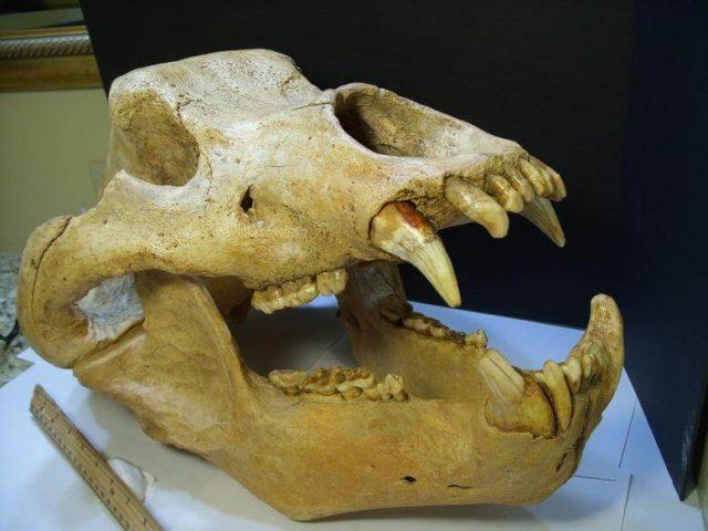 Cave Bear Skull Fossil