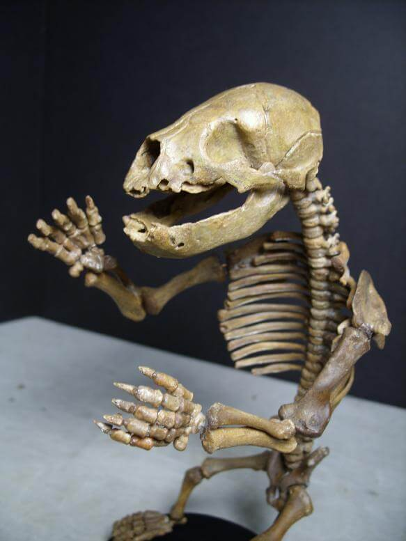 Cave Bear Fossils