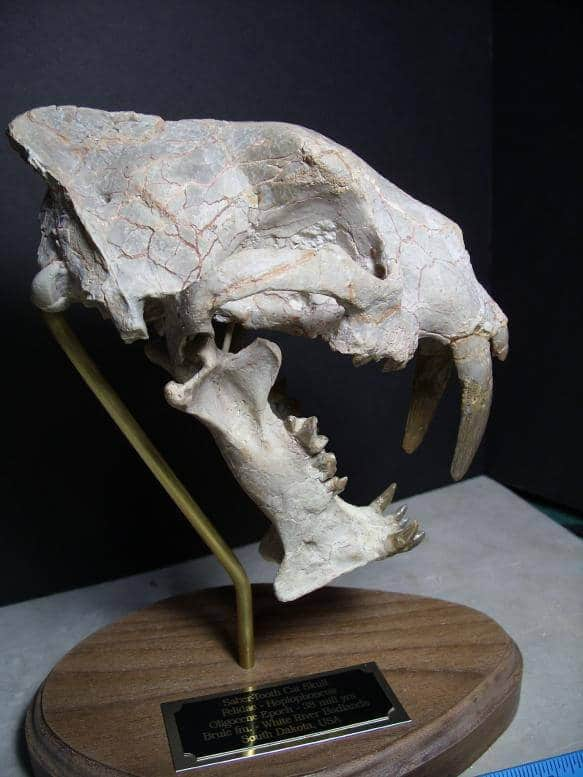 Saber Tooth Cat Fossil