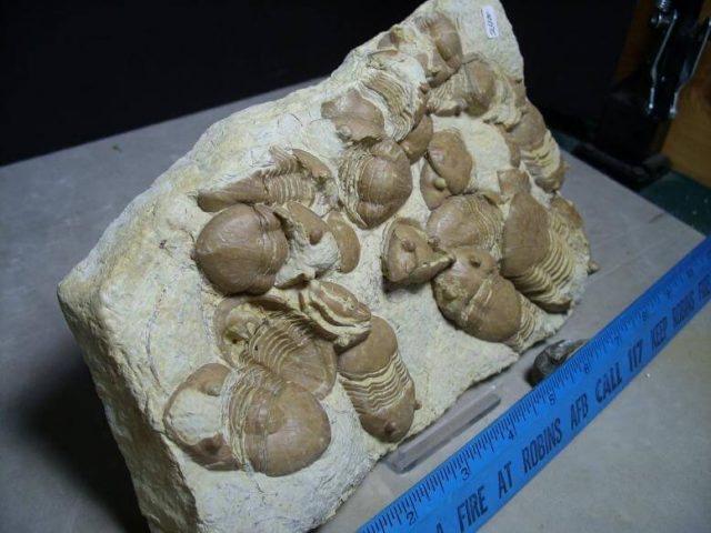 Trilobite Fossils for Sale