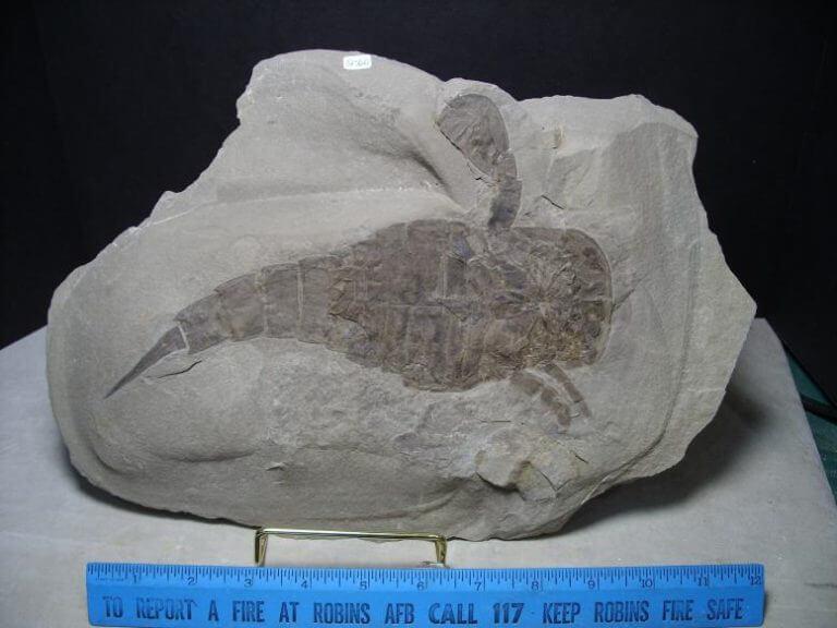 eurypterid fossils