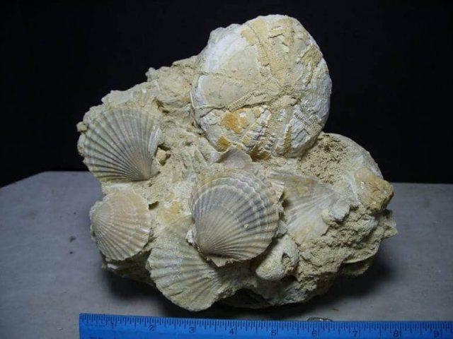 Echinoid Fossils