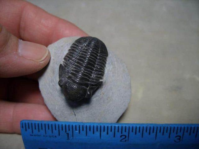 Gerastos granulosus Trilobite