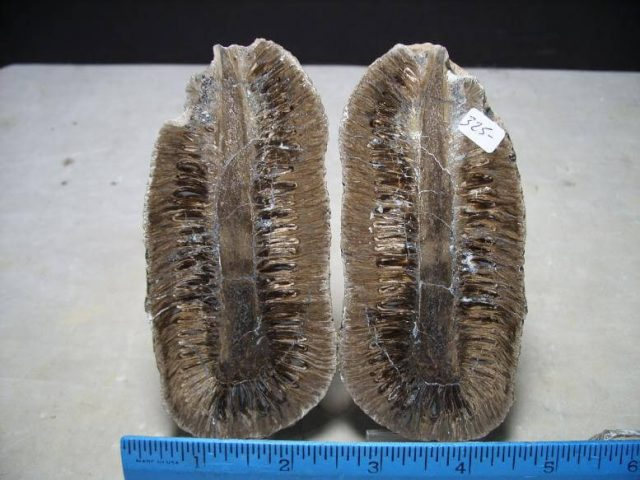 Fossil Cone