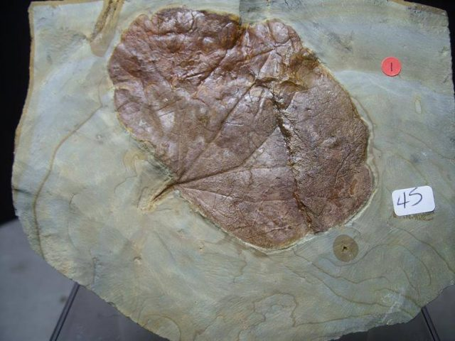 Beautifully Detailed Fossilized Leaf