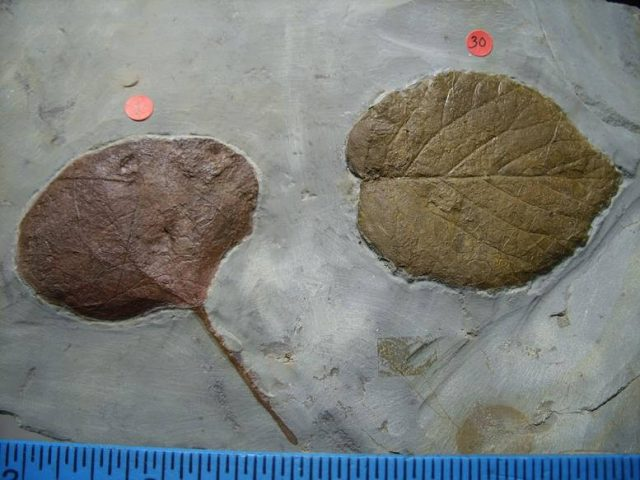 Beautifully Detailed Multiple Fossilized Leaves