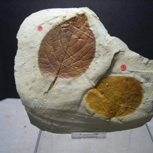 Beautifully Detailed Fossilized Leaves