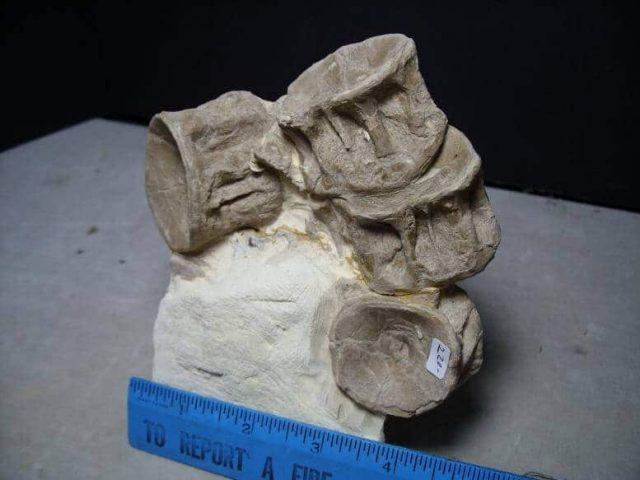 Xiphactinus audax