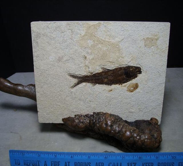 Fossil fish knightia fossils for sale fossils for sale for Fish fossils for sale