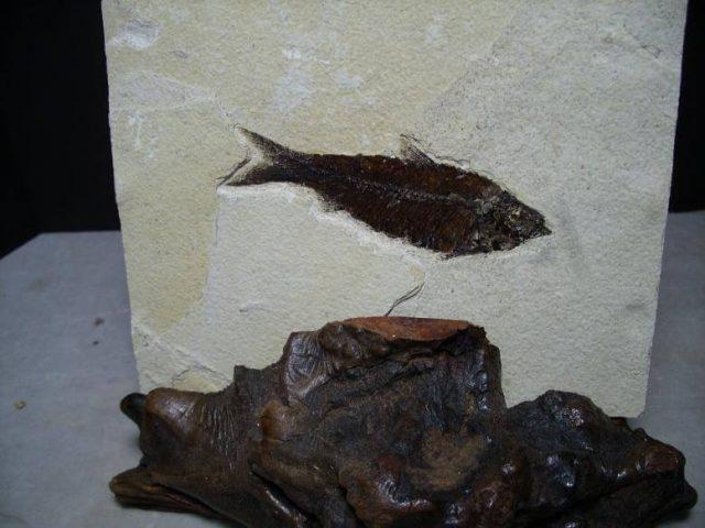 Fossil Fish Knightia