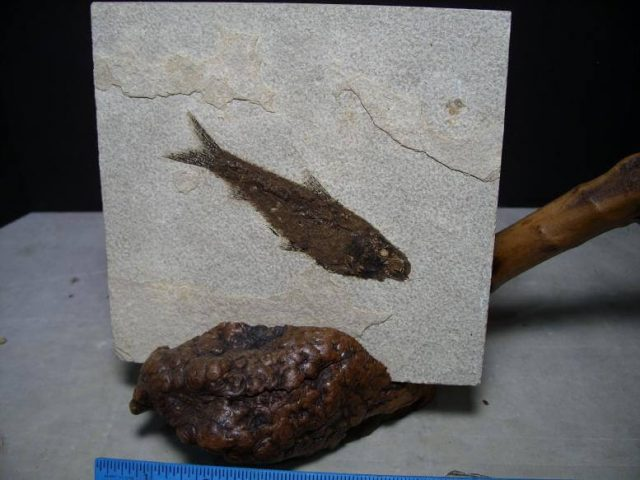 Knightia Fossil Fish