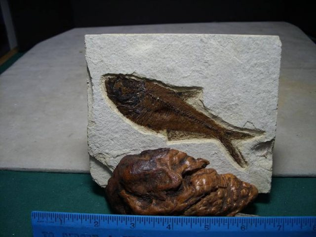 Fossil Fish Diplomystus