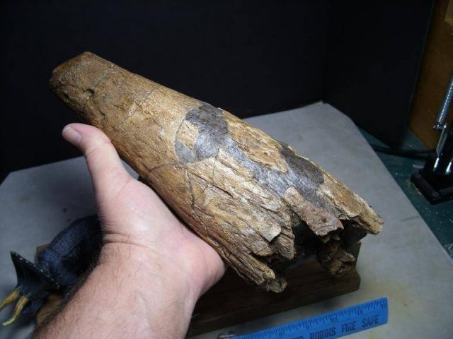 Triceratops Horn