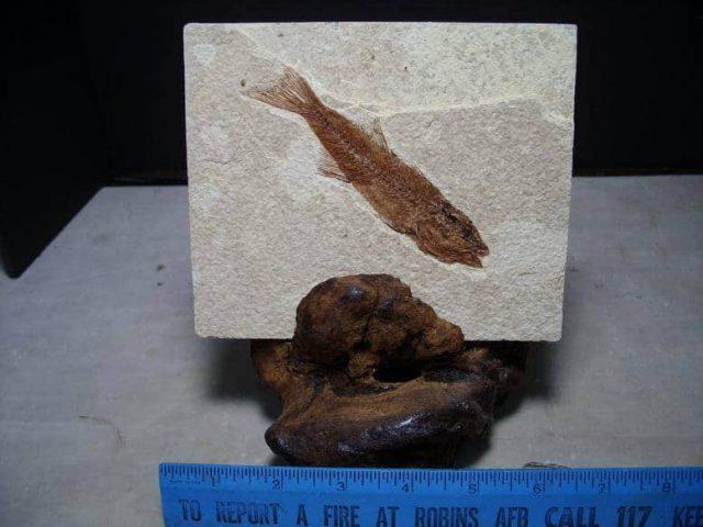 Mioplosus fossil fish