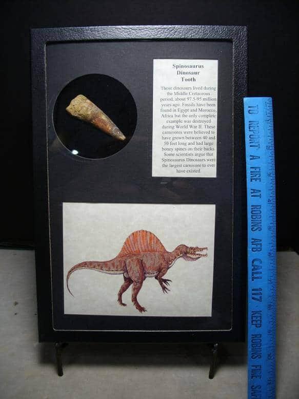 Spinosaur Tooth