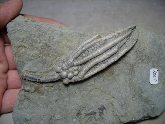 Fossil Crinoids