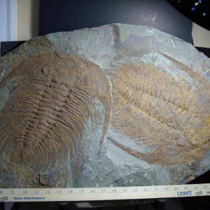 Paradoxidies Trilobites