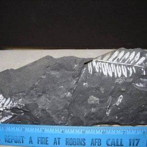 fossil ferns