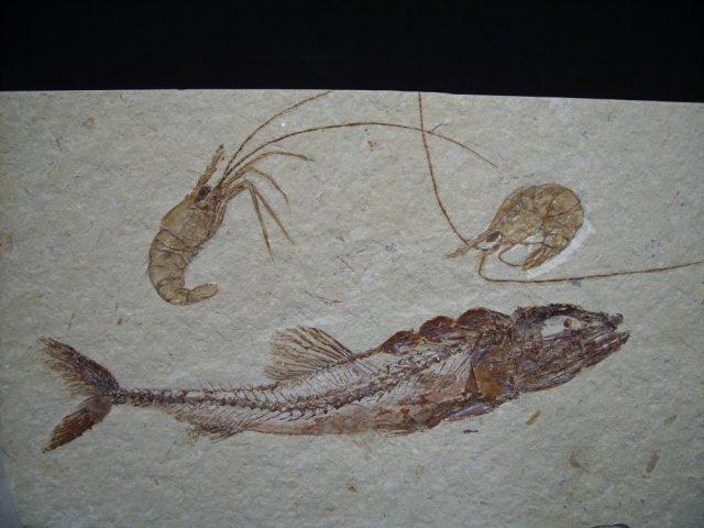 Eurypholis fossils