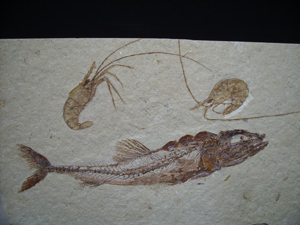 Rare lebanese fossil fish 062117c fossils for sale for Fish fossils for sale