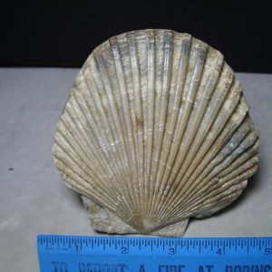fossil bivalve