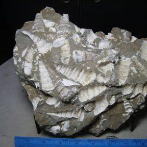 Turritella Fossils